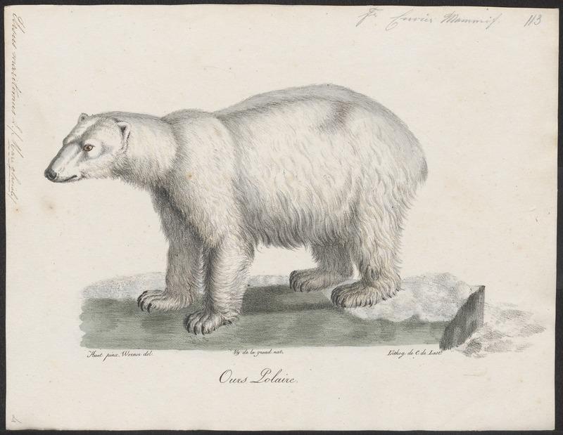 Ursus maritimus - 1700-1880 - Print - Iconographia Zoologica - Special Collections University of Amsterdam - UBA01 IZ22600069.jpg