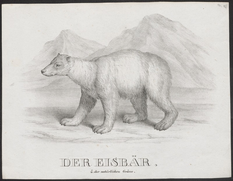 Ursus maritimus - 1700-1880 - Print - Iconographia Zoologica - Special Collections University of Amsterdam - UBA01 IZ22600071.jpg