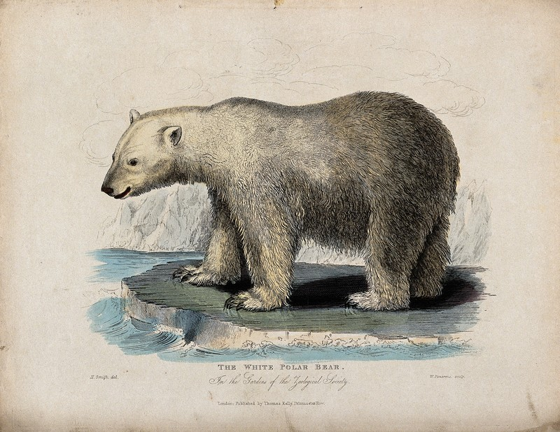Zoological Society of London; a white polar bear on an ice f Wellcome V0023096.jpg
