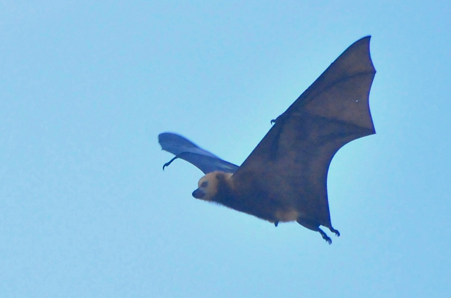 Mauritian flying fox (Pteropus niger); Image ONLY