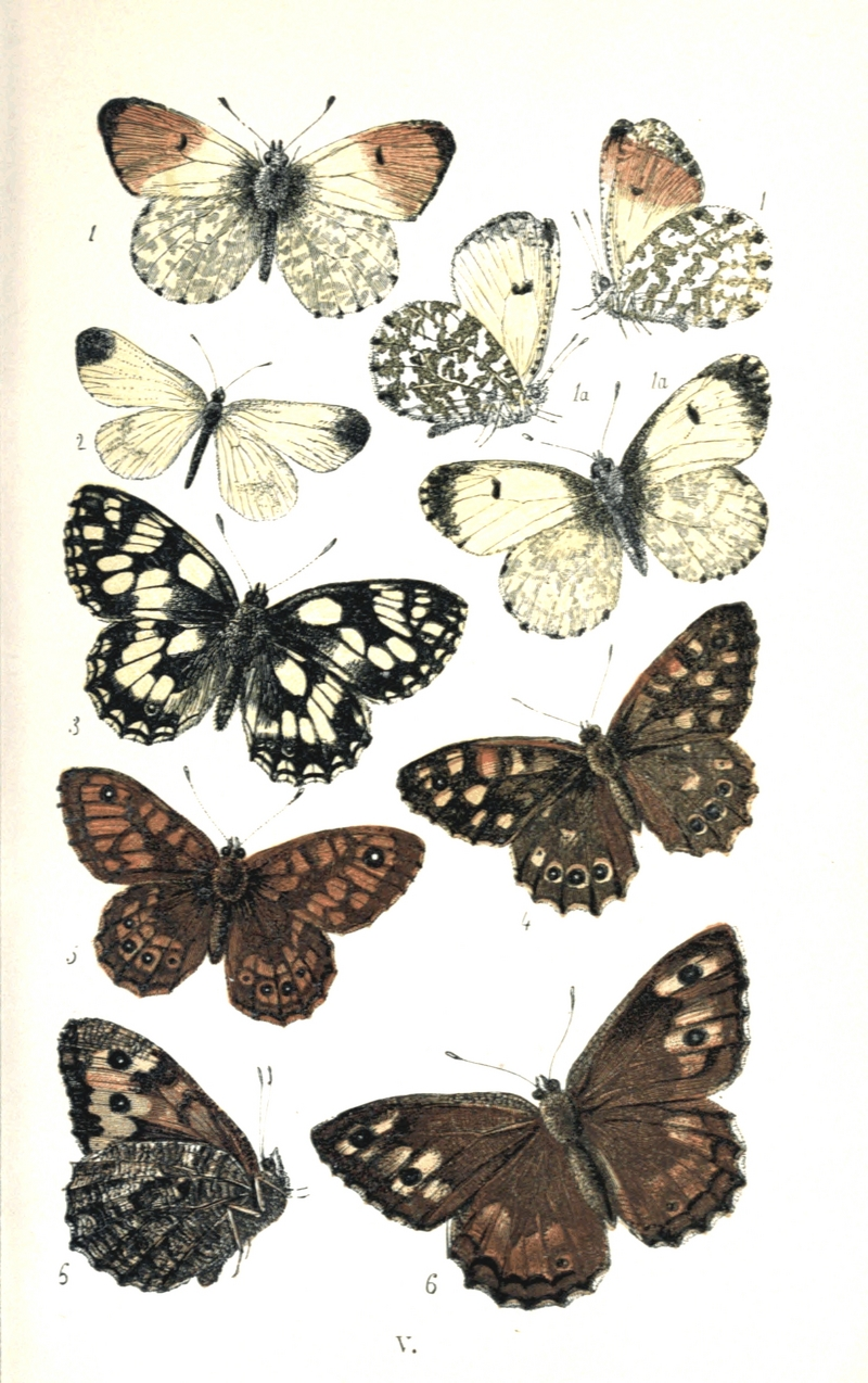 orange tip butterfly (Anthocharis cardamines), wood white (Leptidea sinapis), marbled white (Melanargia galathea), speckled wood (Pararge aegeria), wall brown (Lasiommata megera), rock grayling (Hipparchia semele); DISPLAY FULL IMAGE.