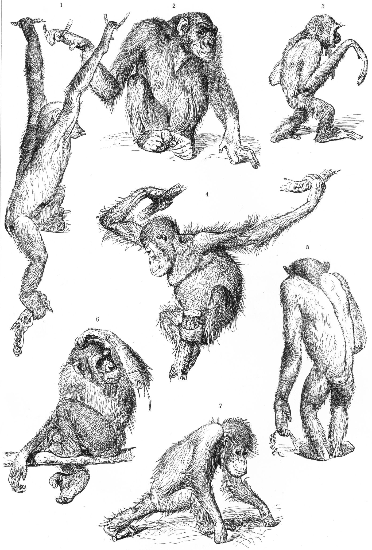 Orangutan anatomy