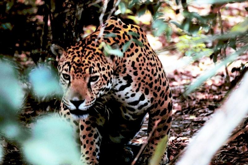 Obscured jaguar - jaguar (Panthera onca).jpg