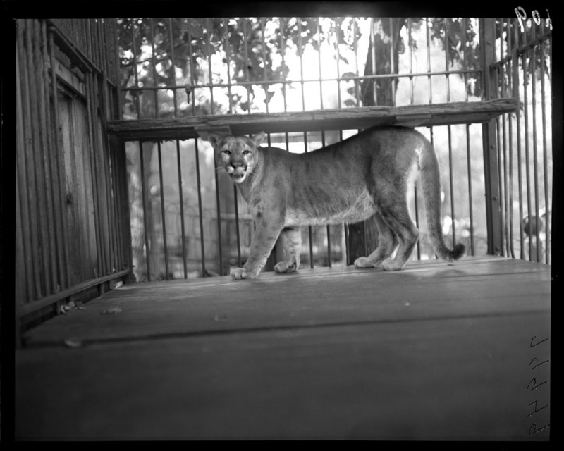 Cougar in his cage with bars. Lincoln Park Zoo. 1900. (3404663605).jpg