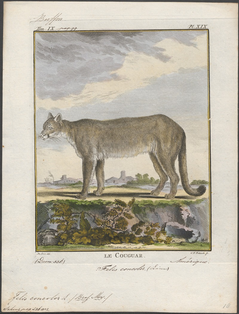 Felis concolor - 1700-1880 - Print - Iconographia Zoologica - Special Collections University of Amsterdam - UBA01 IZ22100314.jpg