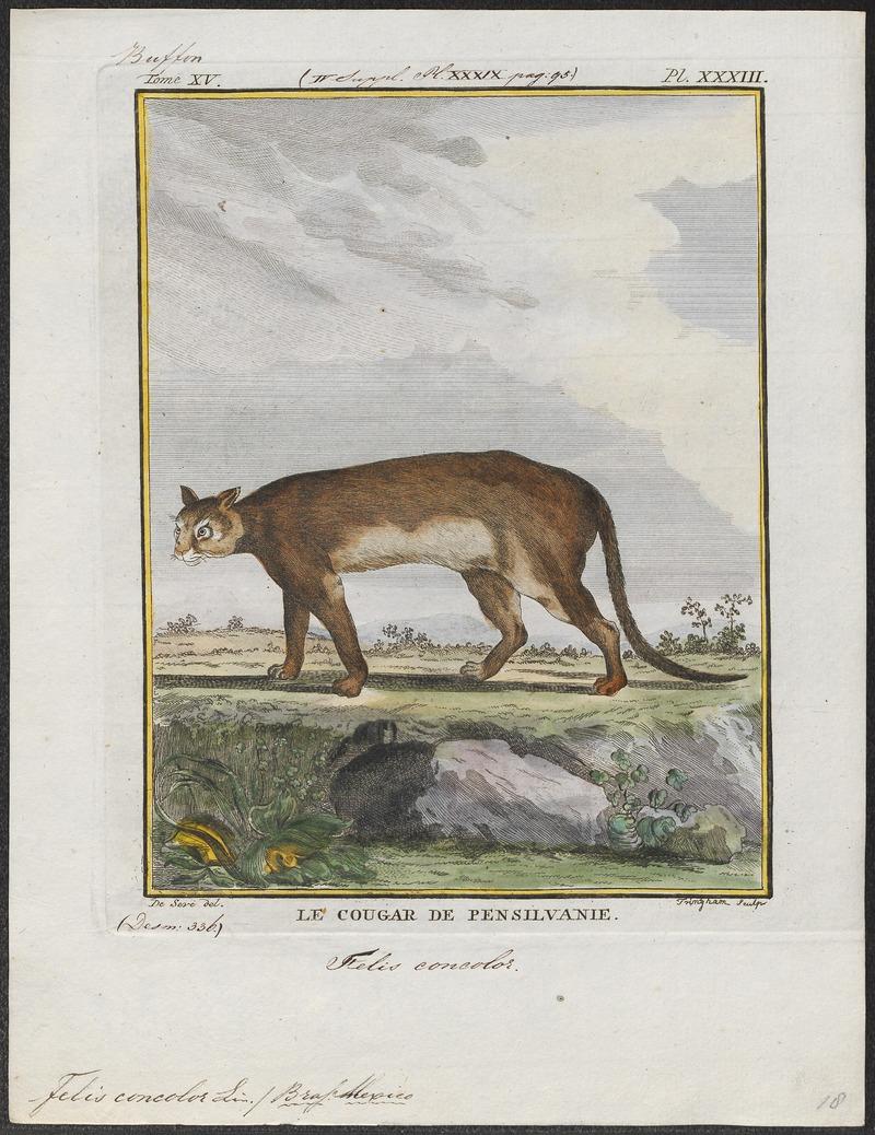 Felis concolor - 1700-1880 - Print - Iconographia Zoologica - Special Collections University of Amsterdam - UBA01 IZ22100316.jpg