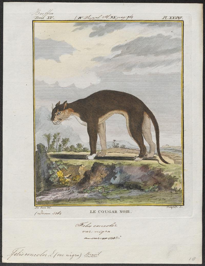 Felis concolor - 1700-1880 - Print - Iconographia Zoologica - Special Collections University of Amsterdam - UBA01 IZ22100320.jpg