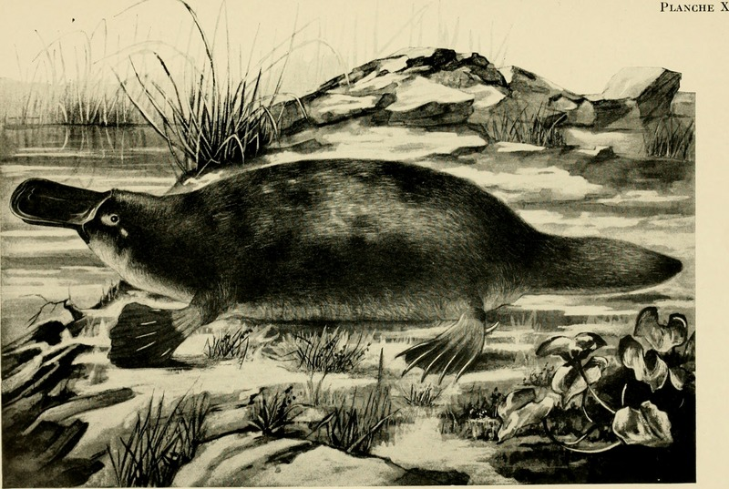 duck-billed platypus (Ornithorhynchus anatinus); DISPLAY FULL IMAGE.