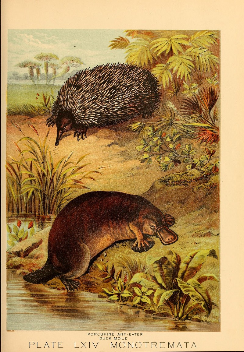 short-beaked echidna (Tachyglossus aculeatus), duck-billed platypus (Ornithorhynchus anatinus); DISPLAY FULL IMAGE.