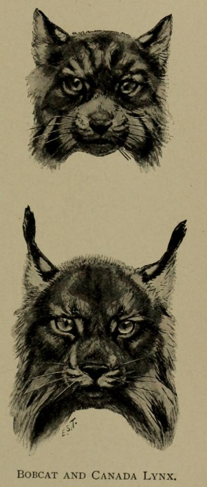 Ernest Ingersoll - lynx rufus & lynx canadensis.png