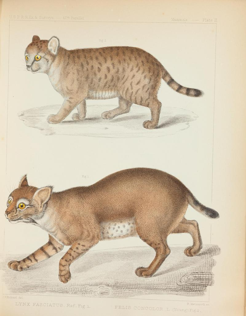 Mammals of North America; the description of species based chiefly on the collections in the Museum of the Smithsonian Institution (Plate II) BHL43276708.jpg