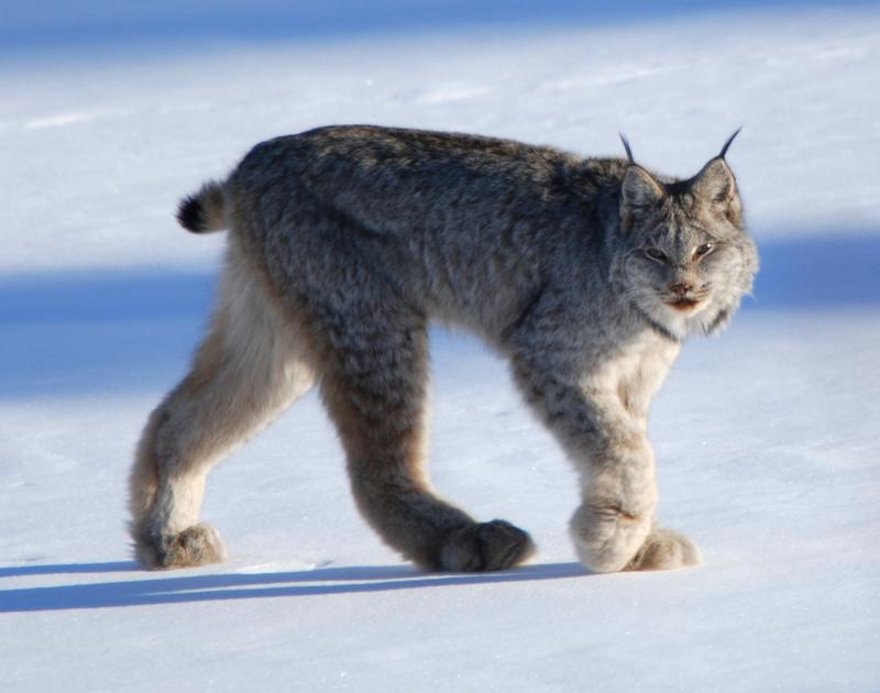 Canadian lynx by Keith Williams - Canada lynx (Lynx canadensis).jpg