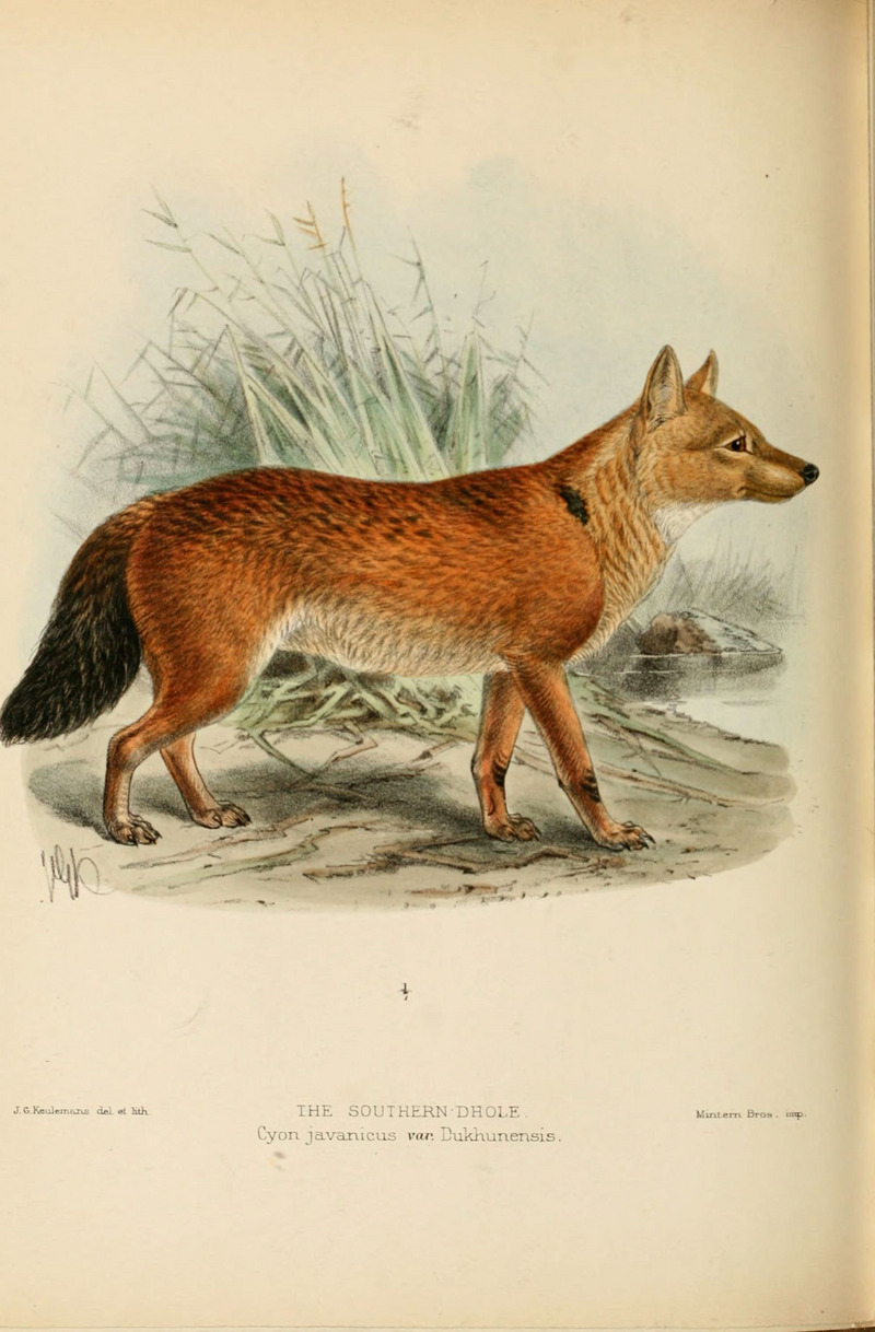 dhole (Cuon alpinus); DISPLAY FULL IMAGE.