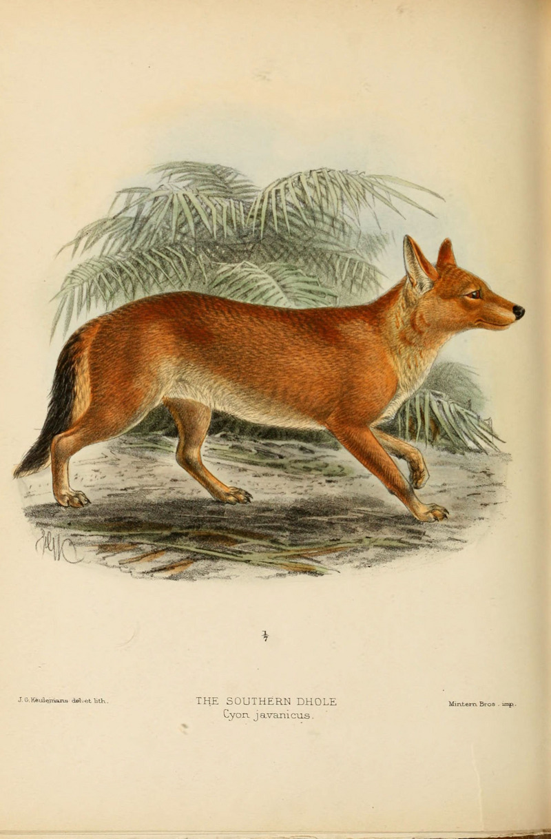 Dogs, jackals, wolves, and foxes (Plate XL) (5987846707).jpg