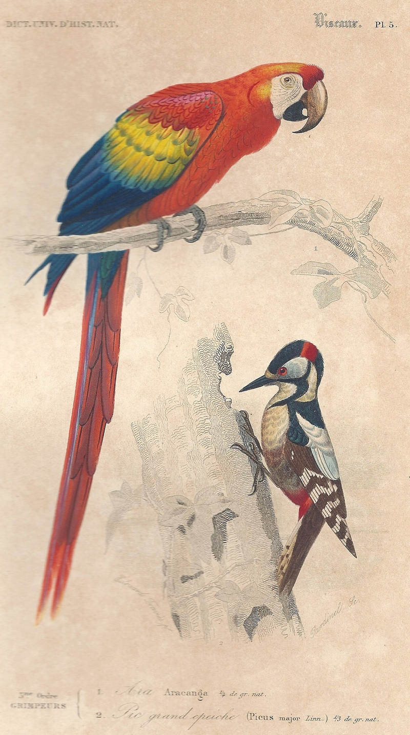 scarlet macaw (Ara macao), great spotted woodpecker (Dendrocopos major); DISPLAY FULL IMAGE.