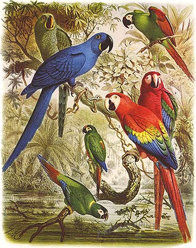 glaucous macaw (Anodorhynchus glaucus), hyacinth macaw (Anodorhynchus hyacinthinus), severe macaw (Ara severus), scarlet macaw (Ara macao), green-winged macaw (Ara chloropterus), blue-winged macaw (Primolius maracana), yellow-collared macaw (Primolius auricollis); Image ONLY