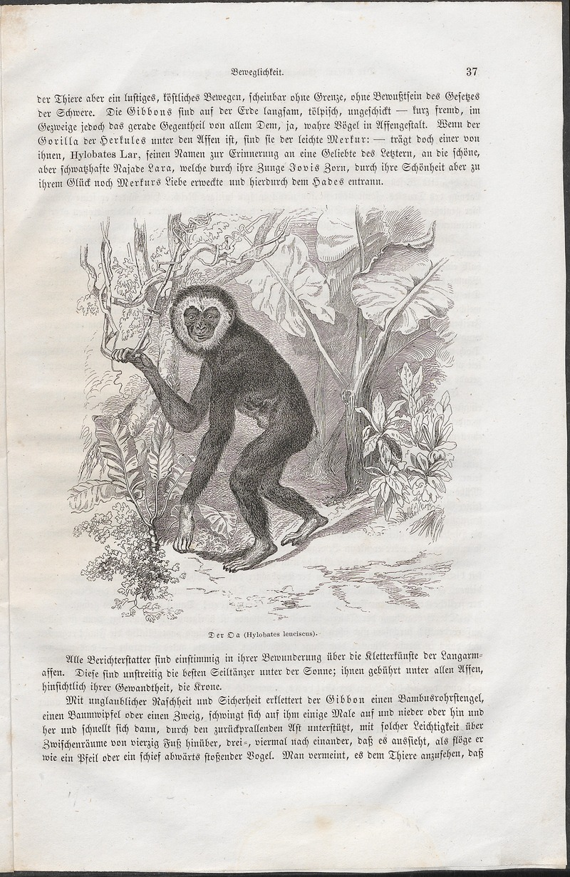 lar gibbon (Hylobates lar); DISPLAY FULL IMAGE.