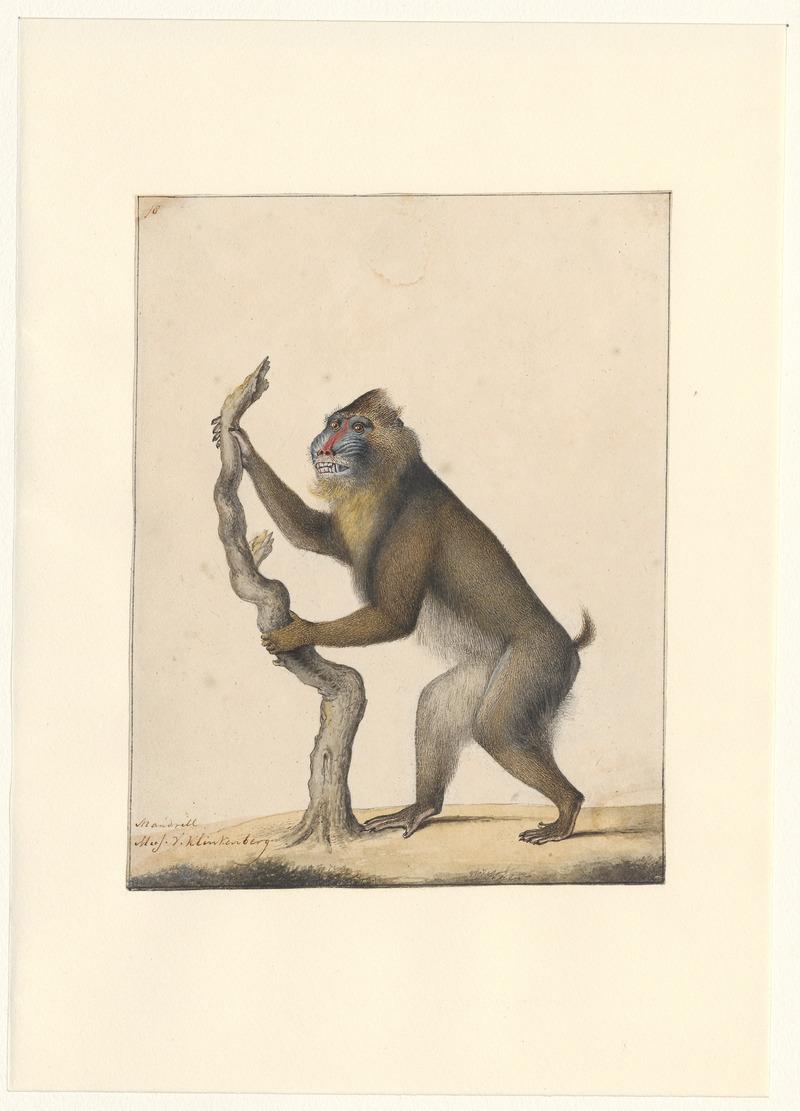 Mandrillus sphinx - 1788-1863 - Print - Iconographia Zoologica - Special Collections University of Amsterdam - UBA01 IZA1000532.jpg