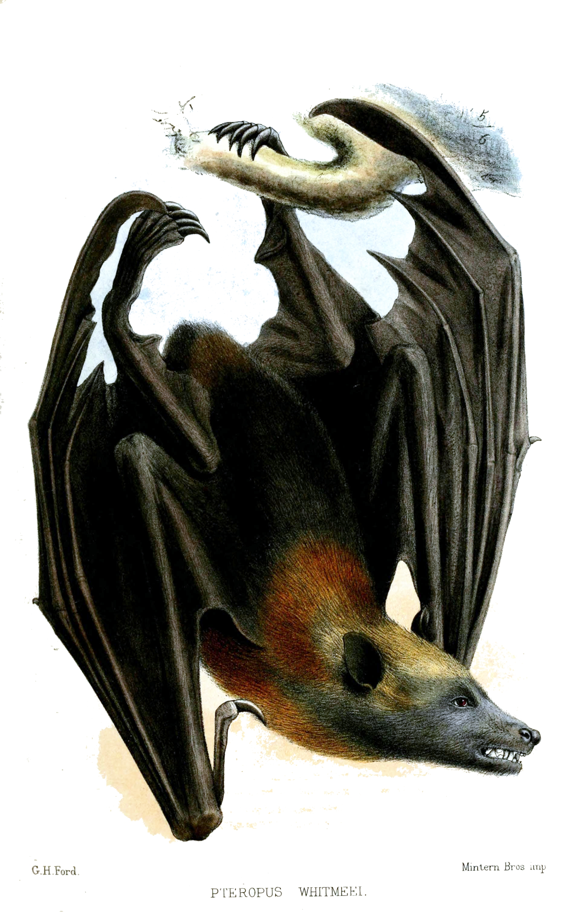 Samoan flying fox (Pteropus samoensis); Image ONLY