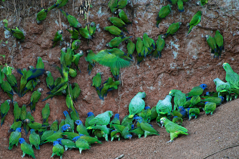 blue-headed parrot (Pionus menstruus), dusky-headed parakeet (Aratinga weddellii), mealy amazon (Amazona farinosa), yellow-crowned amazon (Amazona ochrocephala); DISPLAY FULL IMAGE.