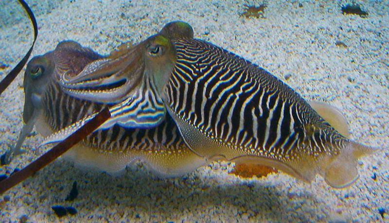 Sepia officinalis Cuttlefish striped breeding pattern.jpg
