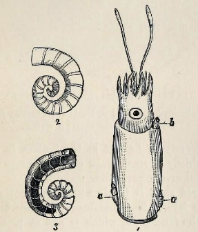 ram s horn squid spirula spirula ram s horn squid spirula spirula