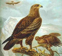Lesser spotted eagle.JPG
