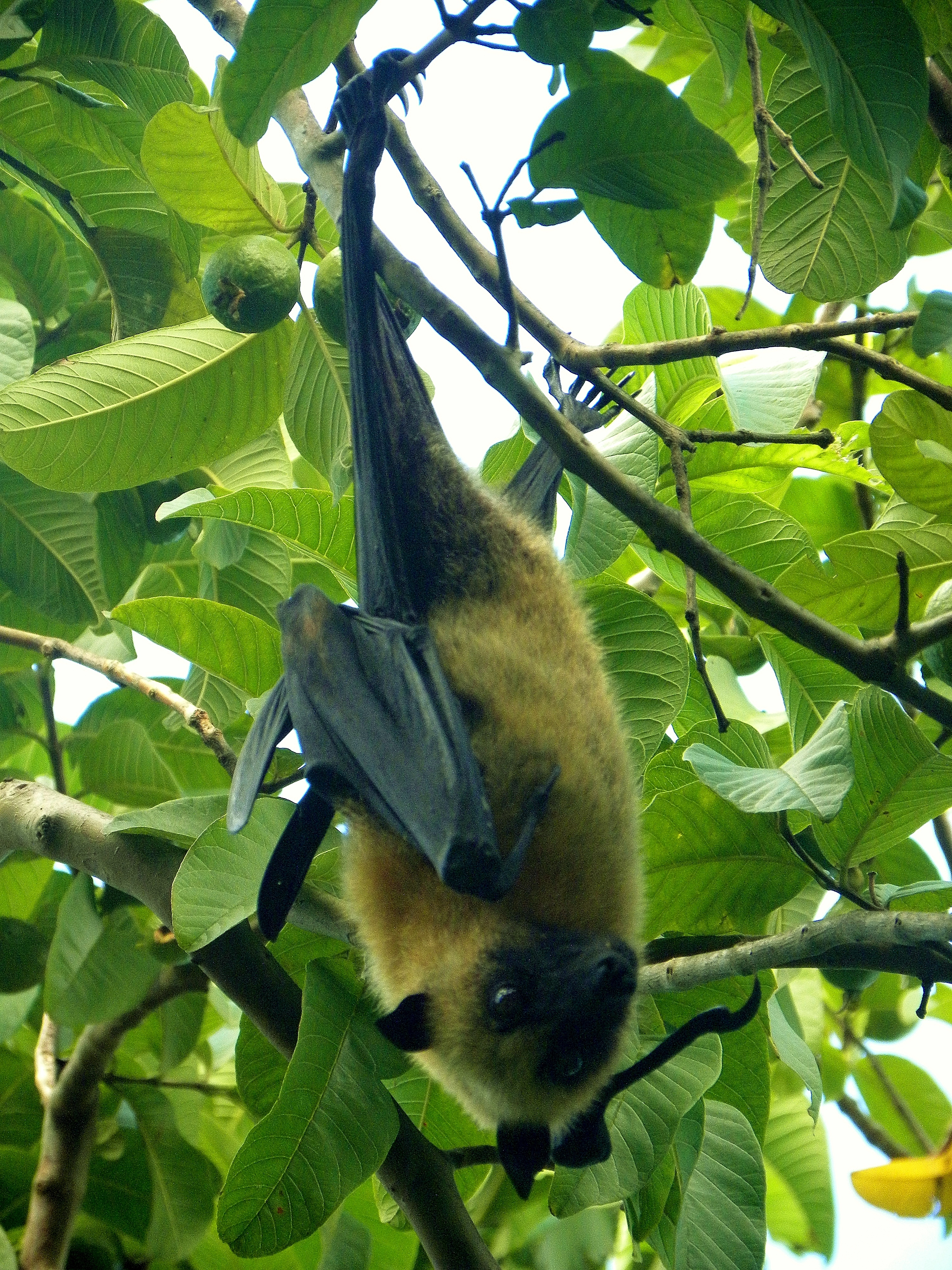 Seychelles flying fox (Pteropus seychellensis comorensis); Image ONLY