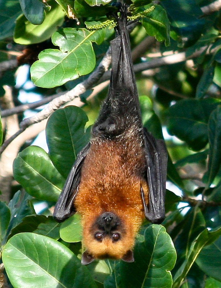 Seychelles fruit bat, Seychelles flying fox (Pteropus seychellensis); Image ONLY