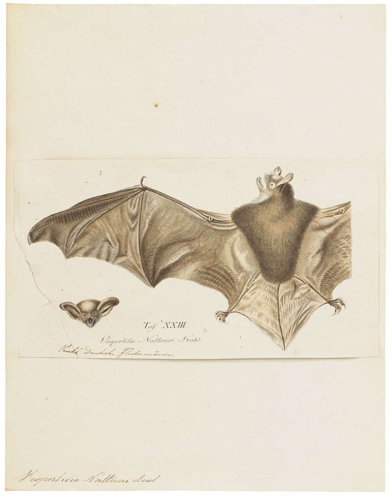 Natterer's bat (Myotis nattereri); DISPLAY FULL IMAGE.