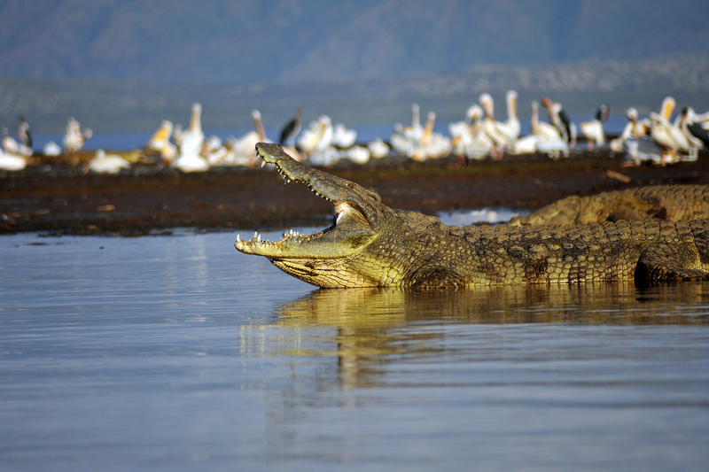 Nile crocodile (Crocodylus niloticus); DISPLAY FULL IMAGE.