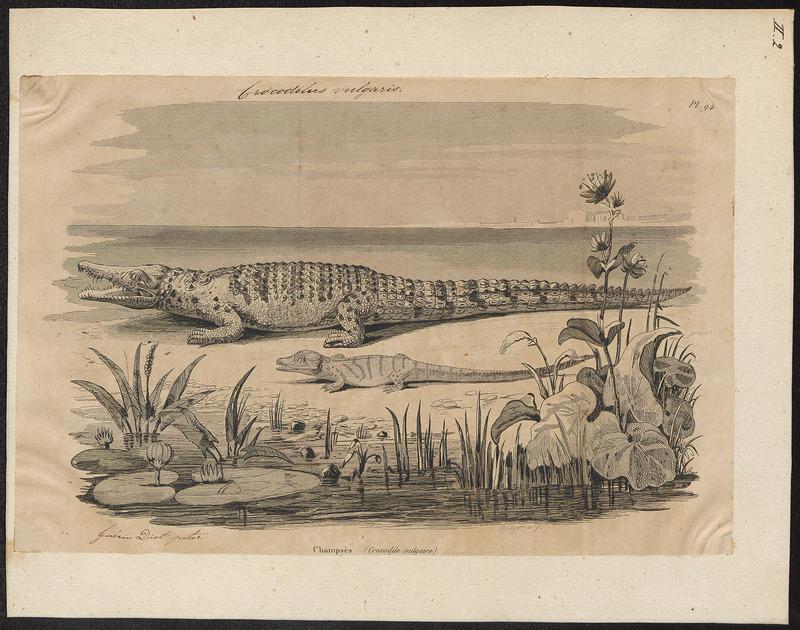 Crocodilus vulgaris - 1700-1880 - Print - Iconographia Zoologica - Special Collections University of Amsterdam - UBA01 IZ12200062.jpg