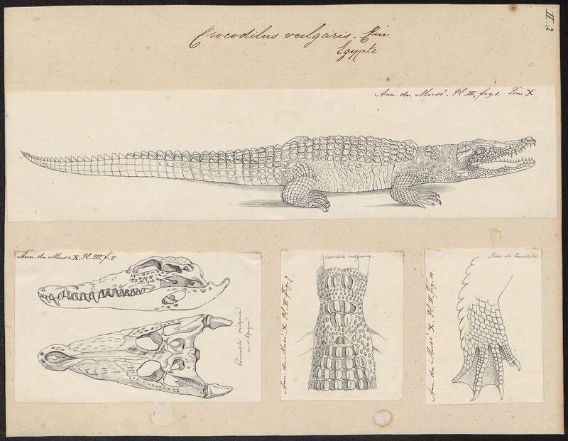 Crocodilus vulgaris - 1700-1880 - Print - Iconographia Zoologica - Special Collections University of Amsterdam - UBA01 IZ12200064.jpg