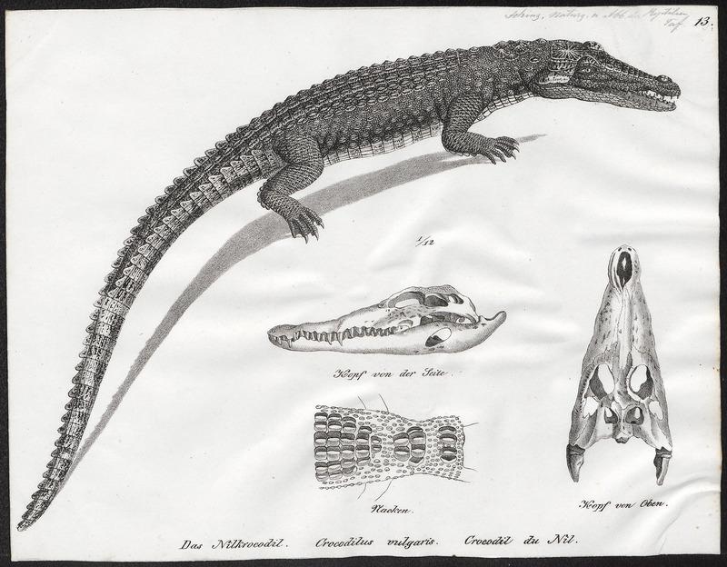 Crocodilus vulgaris - met schedel en nek - 1700-1880 - Print - Iconographia Zoologica - Special Collections University of Amsterdam - UBA01 IZ12200060.jpg