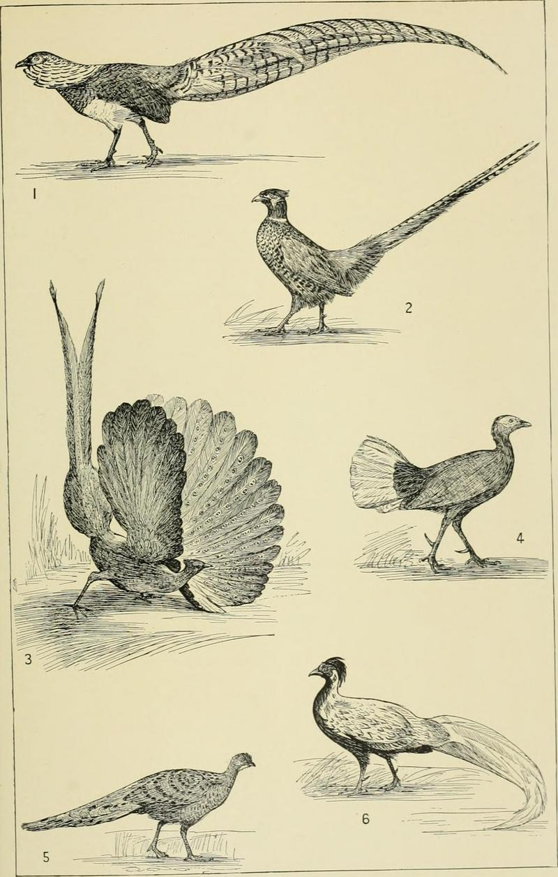 Lady Amherst's pheasant (Chrysolophus amherstiae), ring-necked pheasant (Phasianus colchicus), great argus pheasant (Argusianus argus), Bulwer's wattled pheasant (Lophura bulweri), grey peacock-pheasant (Polyplectron bicalcaratum), silver pheasant (Lophura nycthemera); DISPLAY FULL IMAGE.