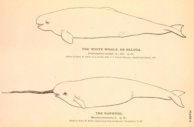 Narwhal and Beluga.jpg