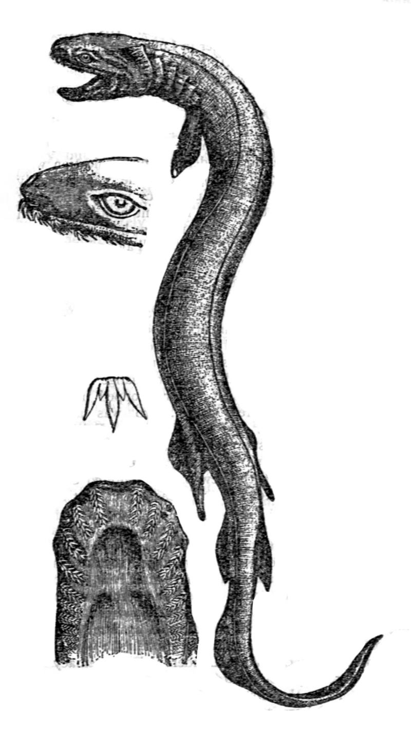 frilled shark (Chlamydoselachus anguineus); DISPLAY FULL IMAGE.