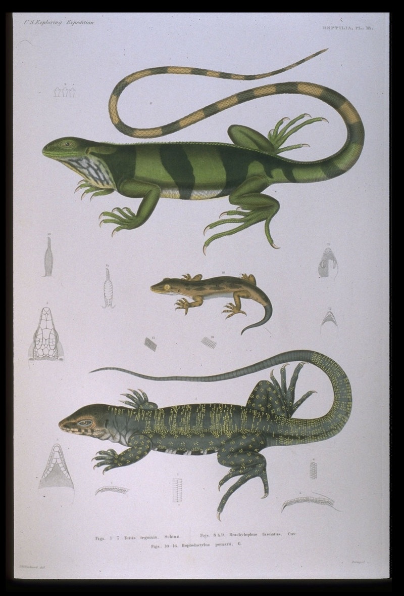 Fiji banded iguana (Brachylophus fasciatus), Pacific sticky-toed gecko (Hoplodactylus pacificus), gold tegu (Tupinambis teguixin); DISPLAY FULL IMAGE.
