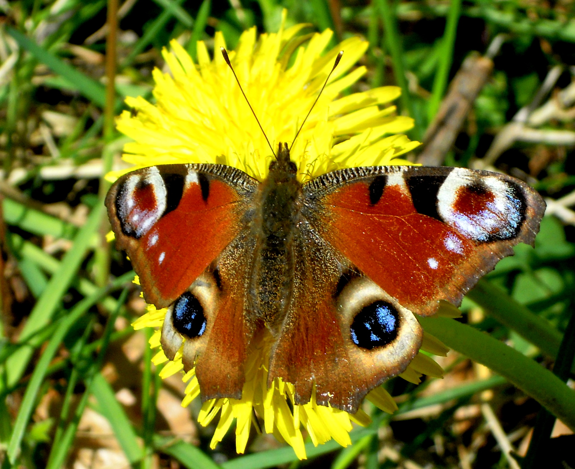 European peacock butterfly (Aglais io); Image ONLY
