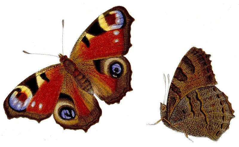 European peacock butterfly (Aglais io); DISPLAY FULL IMAGE.
