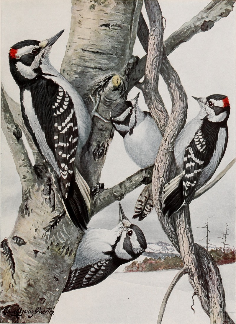 hairy woodpecker (Leuconotopicus villosus), downy woodpecker (Dryobates pubescens); DISPLAY FULL IMAGE.