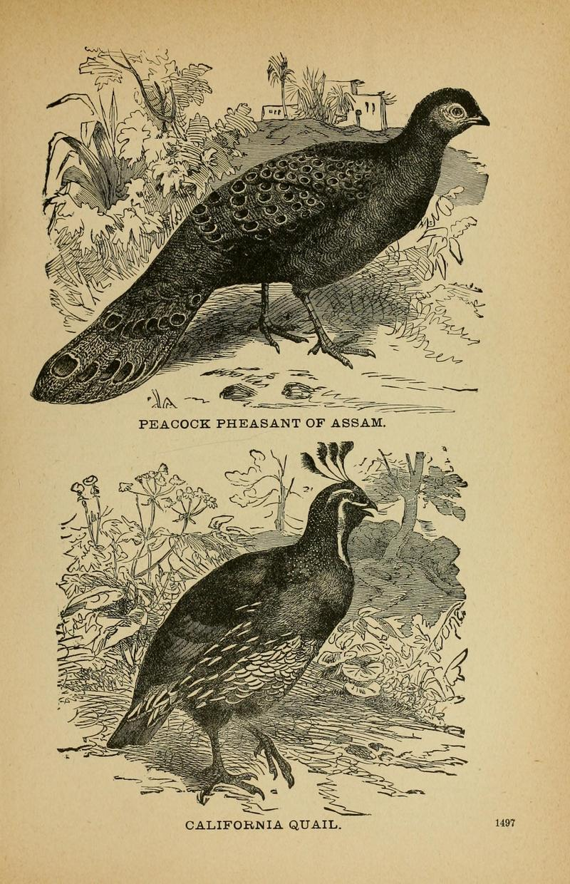 California valley quail (Callipepla californica); DISPLAY FULL IMAGE.