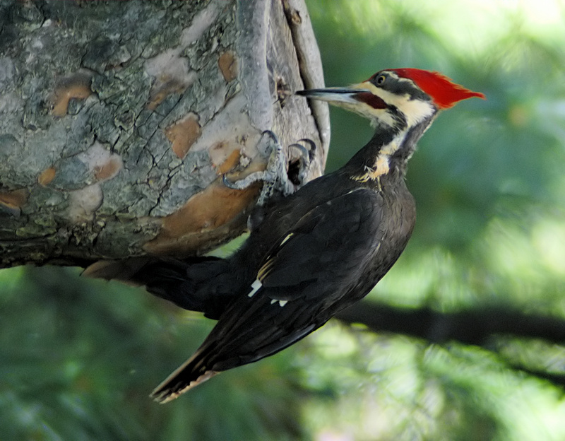pileated woodpecker (Hylatomus pileatus); DISPLAY FULL IMAGE.