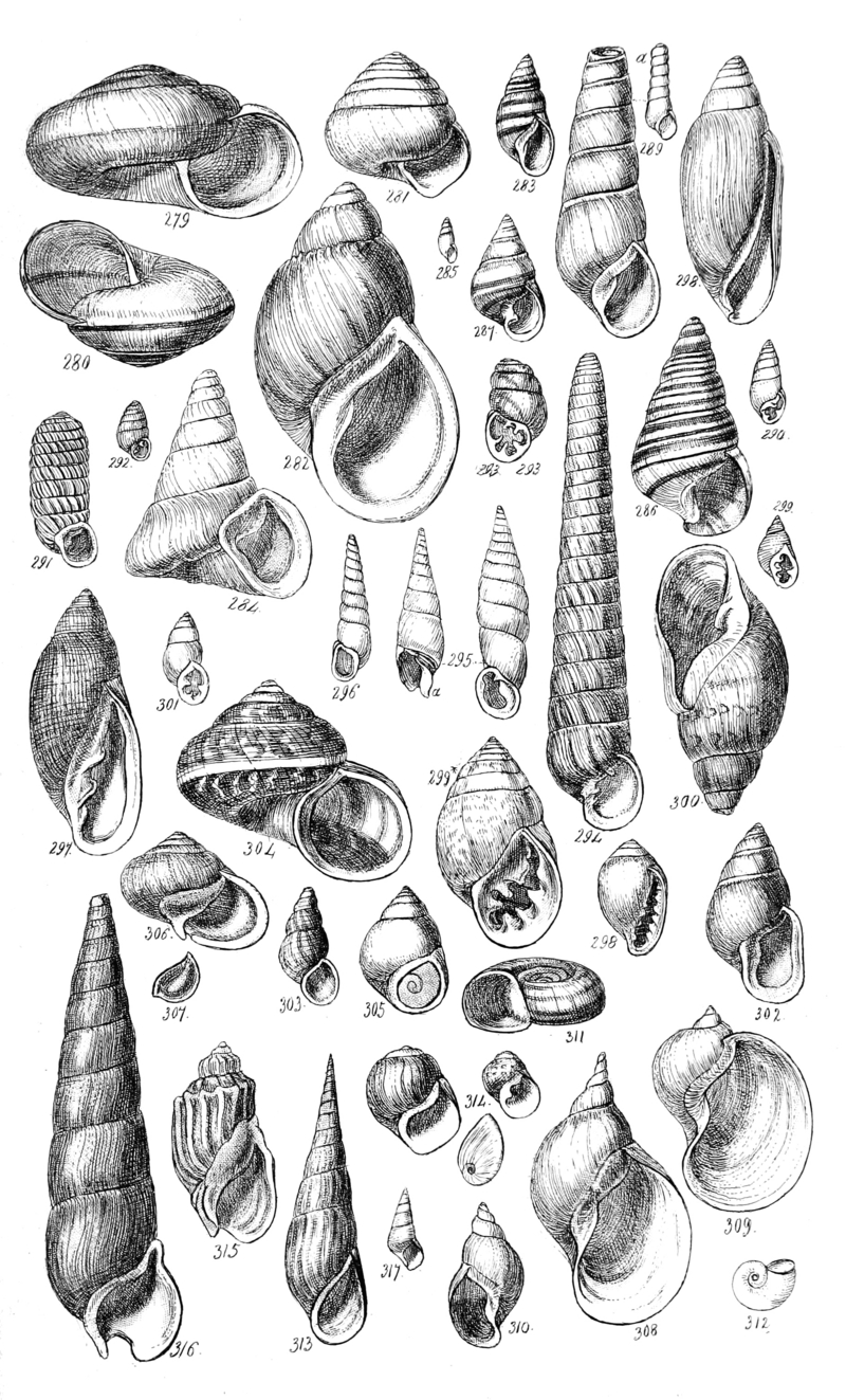 A Conchological Manual Plate 14; DISPLAY FULL IMAGE.