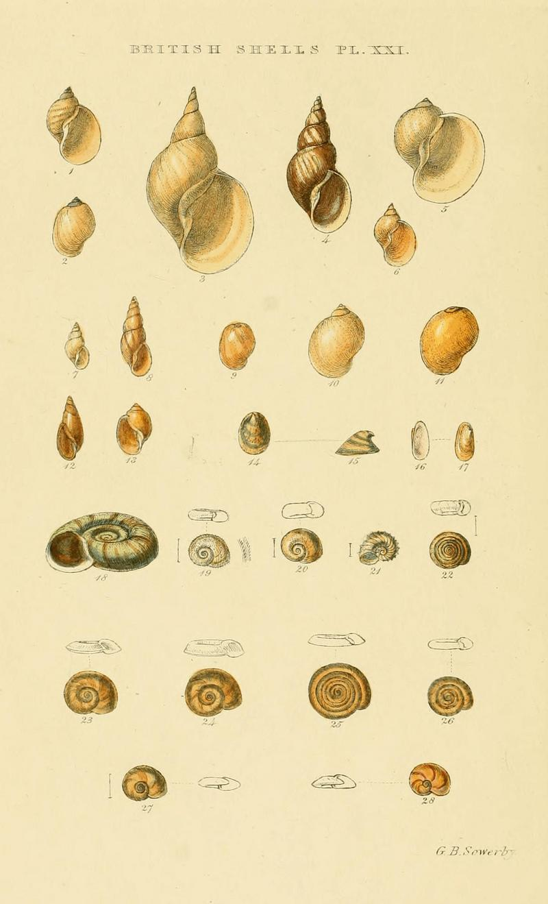Illustrated Index of British Shells. Plate XXI.; DISPLAY FULL IMAGE.