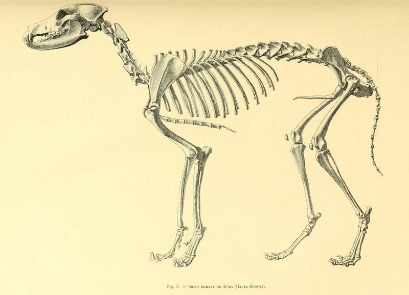 Archives du Museum d'histoire naturelle de Lyon (1872) Chien errant de Rôda.png