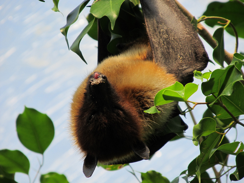 Ryukyu flying fox, Ryukyu fruit bat (Pteropus dasymallus); DISPLAY FULL IMAGE.