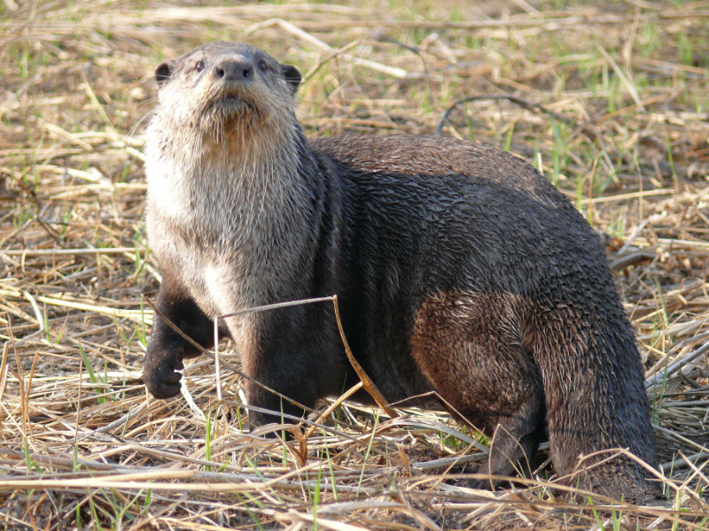African clawless otter (Aonyx capensis); DISPLAY FULL IMAGE.