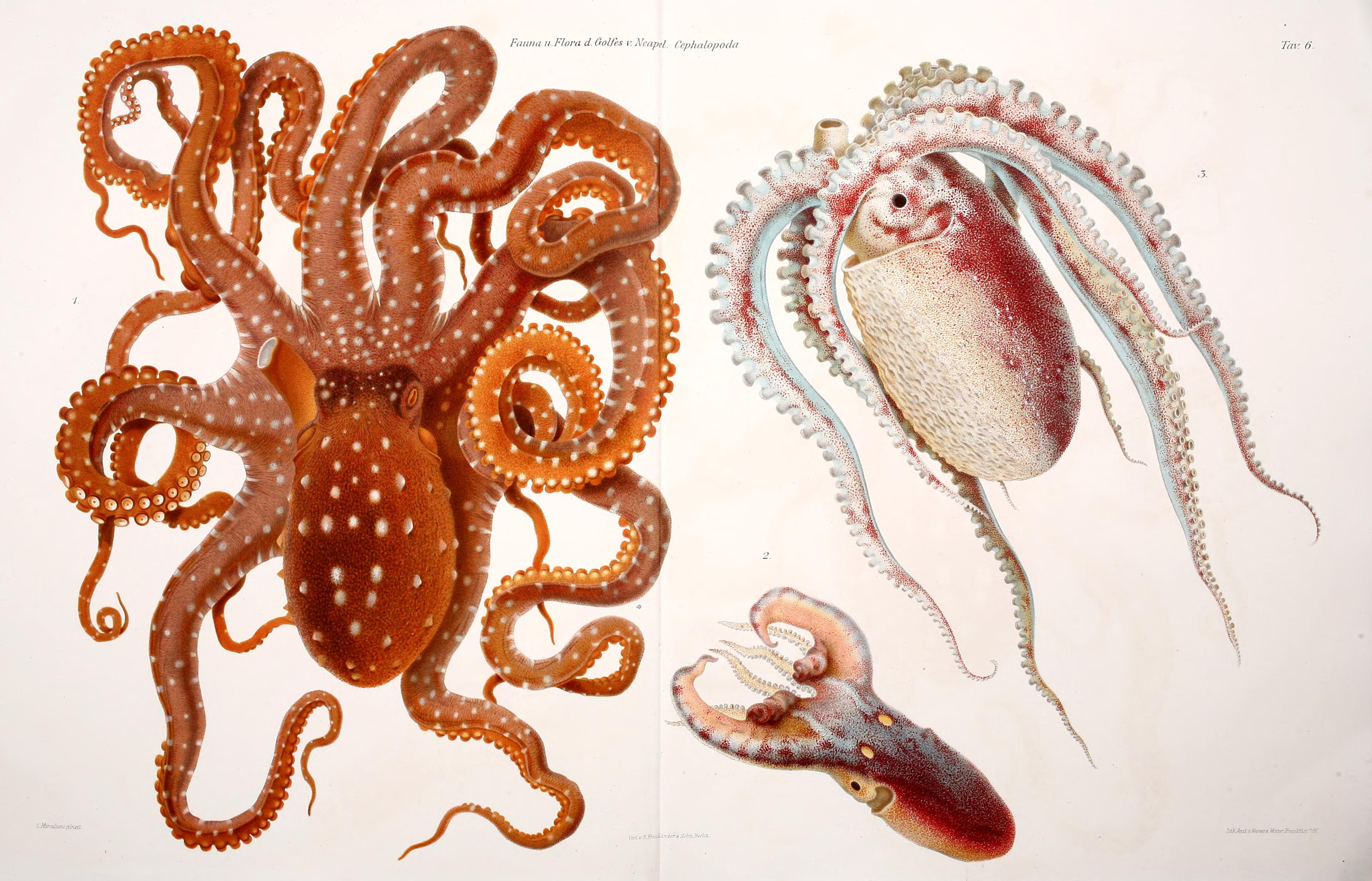 octopi and squid essay I'm in need of a topic for my biology extended essay atlanticus lepidoteuthis grimaldii octopus and squid done ecology topic needed for.