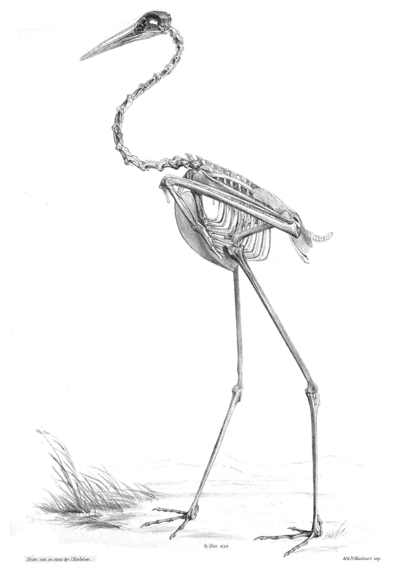 Grus Antigone Skeleton.jpg
